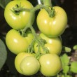 Unripe tomatos — Stock Photo #6493700