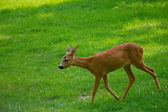 Young deer at the meadow — Stock Photo