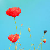 Flowers poppies against the sky — Stock Photo