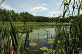 Lilies lake — Stock Photo