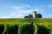 Beautiful lush, green vineyard — Stock Photo