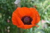 Maková květinka — Stock fotografie