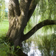 Stock Photo: Mirrored Willow