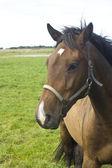 Bruin paard — Stockfoto