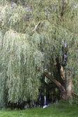 Mirrored Willow — Stock Photo