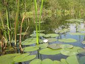 Dziedzinie lilie wodne — Zdjęcie stockowe