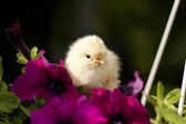 Chicken on a flower — Stock Photo
