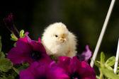 Chicken on a flower — Stock Photo