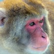 Japanese macaque portrait closeup - Stock Photo