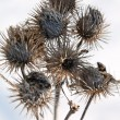 Dry burdock heads — Stock Photo