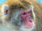 Japanese macaque portrait closeup — Stock Photo