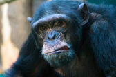 Closeup of angry chimpanzee — Stock Photo