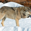 Malicious wolf in snow — Stock Photo