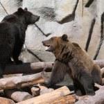Brown (Ursus arctos) bears play — Stock Photo