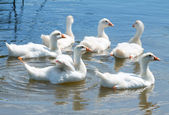 Geese swim in water — Stock Photo