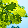 Oak leaves — Stock Photo