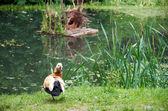 ördek ve onun kuş yuvası — Stok fotoğraf