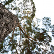 High pine tree, stretching up into the sky — Stock Photo