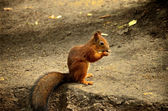 Squirrel and nut — Stock Photo