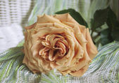 Beautiful peach-colored roses — Stock Photo
