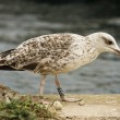 Juvenile seagull — Stock Photo