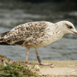 Stock Photo: Juvenile seagull