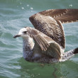 Seagull swimming - Stock Photo