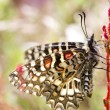 Spanish festoon butterfly (Zerynthia rumina) — Stock Photo