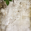 Worn textured cement wall with crawler plant — Stock Photo