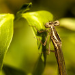 Damselfly insect - Stock Photo