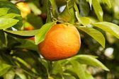 Orange hanging on a tree — Stock Photo