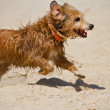 Wet domestic dog running — Stock Photo