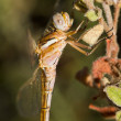 Red-veined Darter — Stock Photo