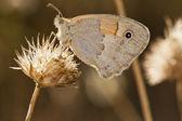 Heath pequeno (Coenonympha Pânfilo) — Fotografia Stock