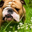 English Bulldog — Stock Photo #5603195