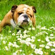 English Bulldog — Stock Photo #5603278