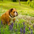 English Bulldog — Stock Photo #5603319