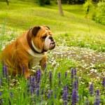 English Bulldog — Stock Photo #5603319