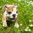 English Bulldog puppy — Stock Photo #5670126