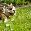 English Bulldog puppy — Stock Photo #5670135