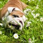 English Bulldog puppy — Stock Photo #5670137