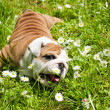 English Bulldog puppy — Stock Photo #5670140