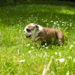 English Bulldog puppy — Stock Photo #5670207