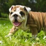 English Bulldog puppy — Stock Photo #5670236