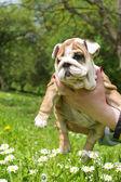 Cucciolo bulldog inglese — Foto Stock