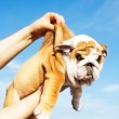 Holding English Bulldog puppy — Stock Photo