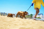 Bulldog family walking in the beach — Stock Photo