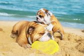 English Bulldogs playing on the beach — Stock Photo