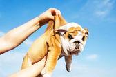 Holding English Bulldog puppy — Stock Photo