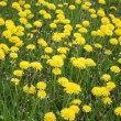 Flowering dandelion — Stock Photo